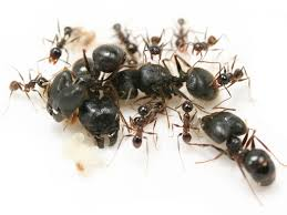 蚂蚁阶级有哪些,蚂蚁如何出现分化的