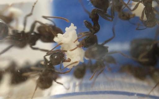 宠物蚂蚁饲养人工蚁巢选择指南