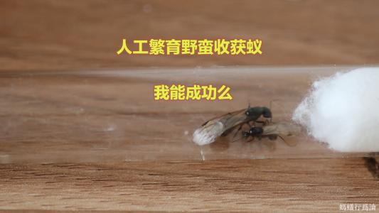 野蛮收获蚁人工婚飞的尝试最终失败了,做了视频