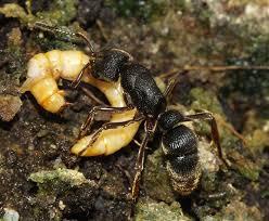 买了一窝红足穴猛蚁