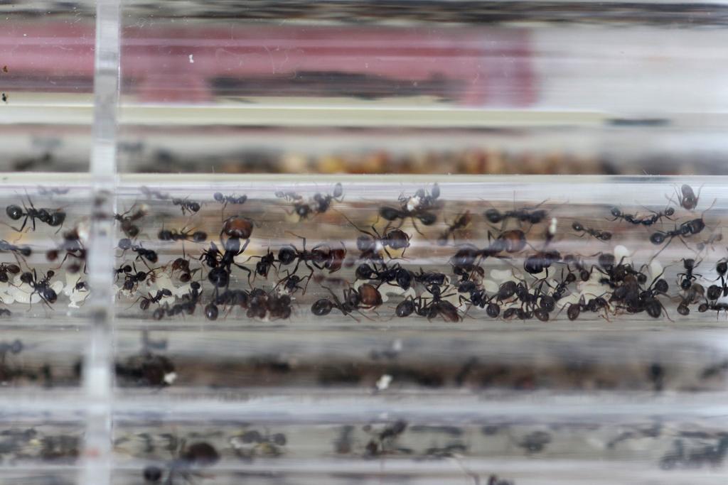 原生收获蚁分化-照片图