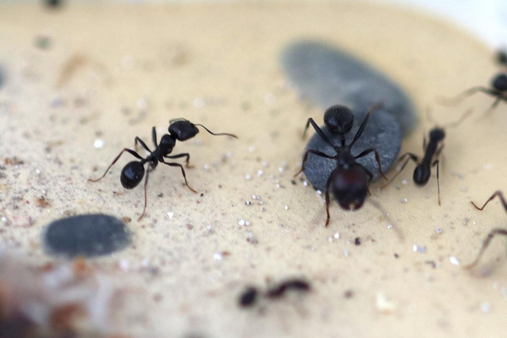 原生收获蚁分化-大工照片图