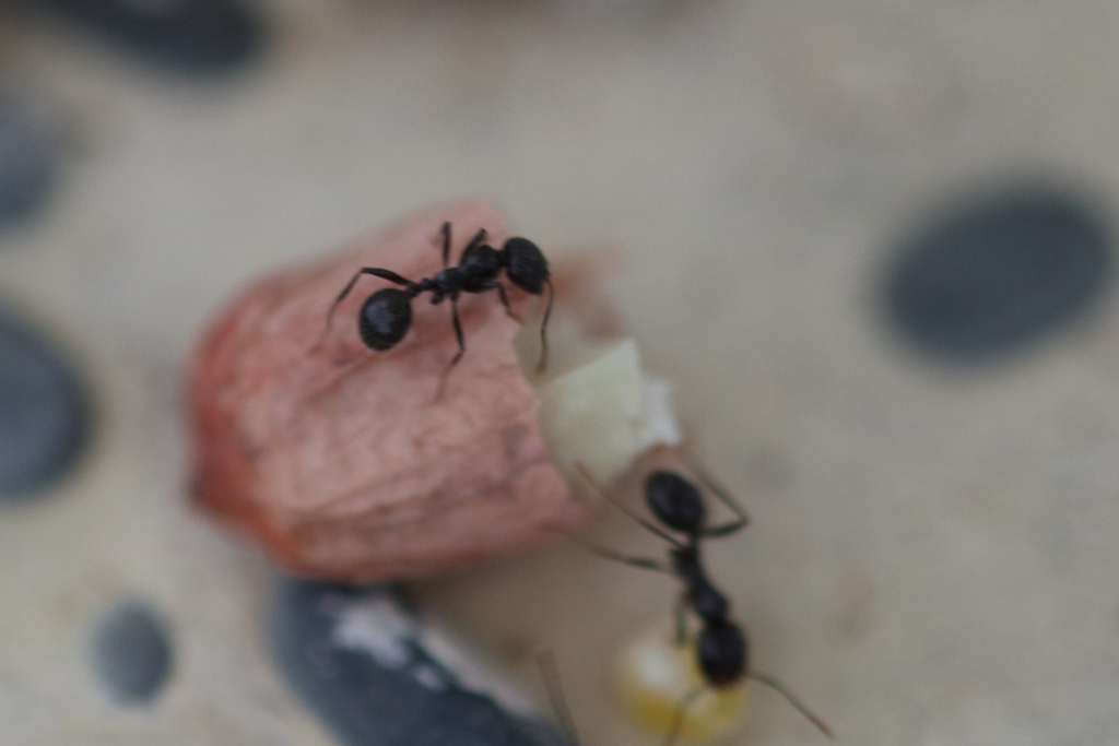 原生收获蚁分化-小工照片图