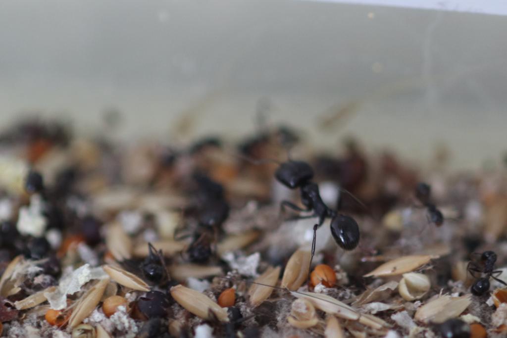 原生收获蚁分化-特化工蚁照片图
