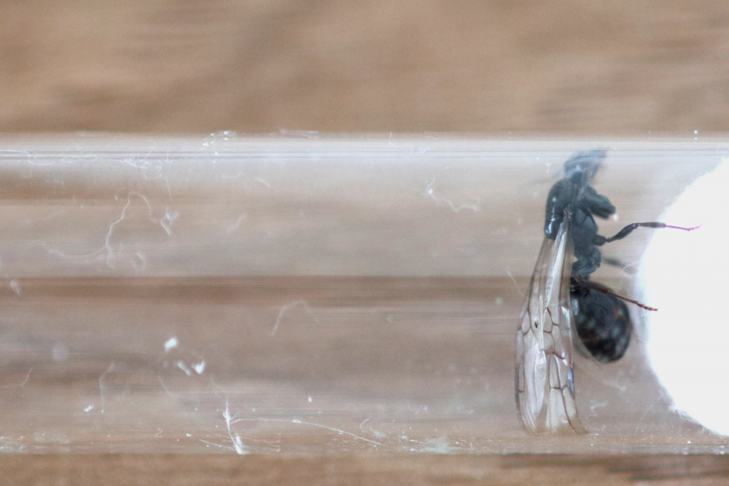 原生收获蚁雌性繁殖蚁(公主蚁)照片